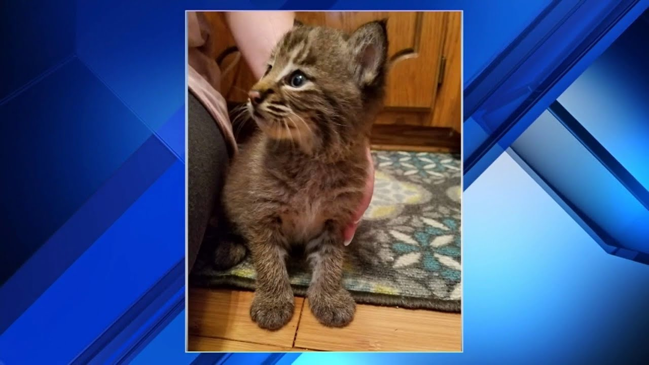 Download Family's new kitten turns out to be a bobcat