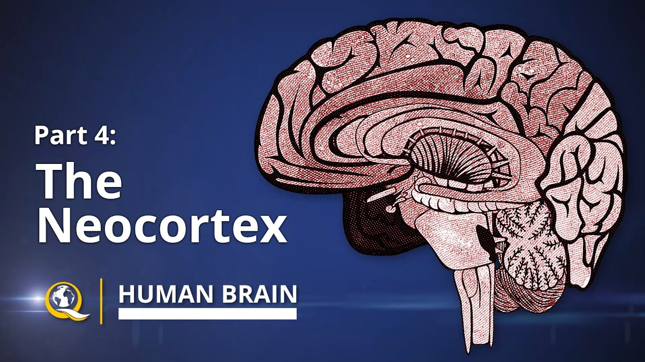 Human Brain Diagram Limbic System 2006 Chevy Silverado 2500 Radio Wiring Neocortex Series Part 4 Youtube