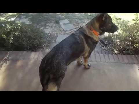 Our Male Gsd With Hip Dysplasia, What We Notice The Most.
