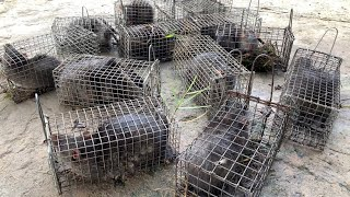 Vlog 152 :Săn Cống Nhum Trúng Một Bầy Kinh khủng