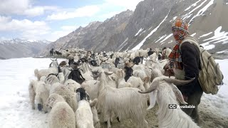 A Shepherd's Journey (with english subtitles) l From Kinnaur to Spiti and Back