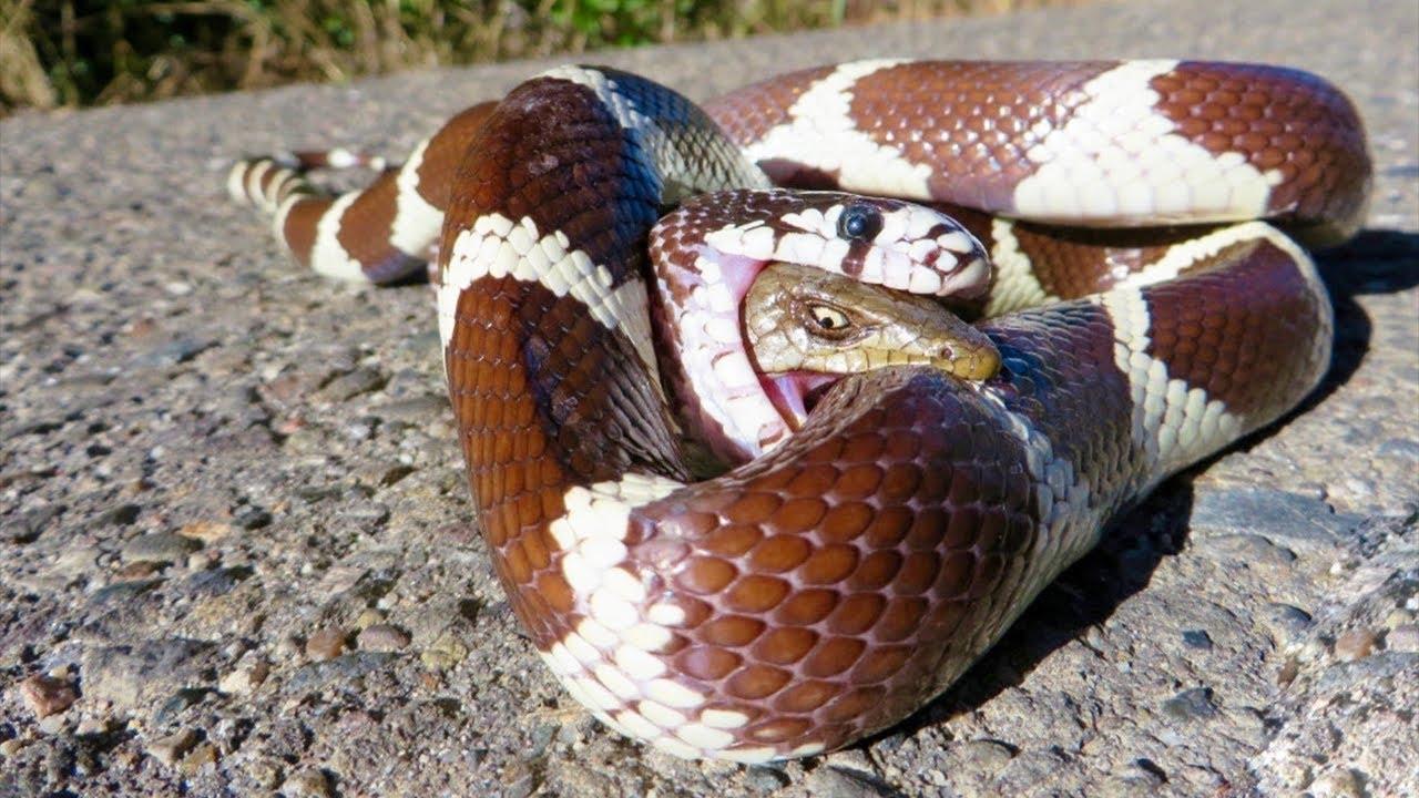 Rắn hổ mang đánh nhau tới chết với rắn độc châu Úc ||  Of the Desert, Komodo vs Cobra who's win?