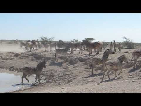 Namibia - Etosha N.P., weather hole with zebras and springboks