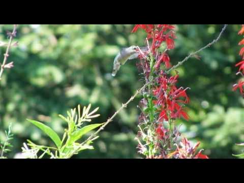 Long Island Hummingbirds
