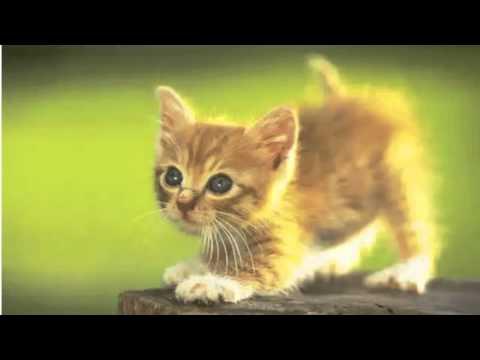 kitten teeth