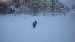 Border Collies Playing in the snow