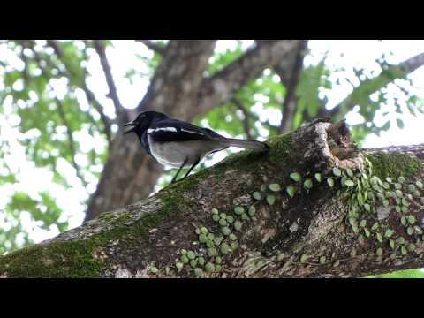 Magpie Robin singing