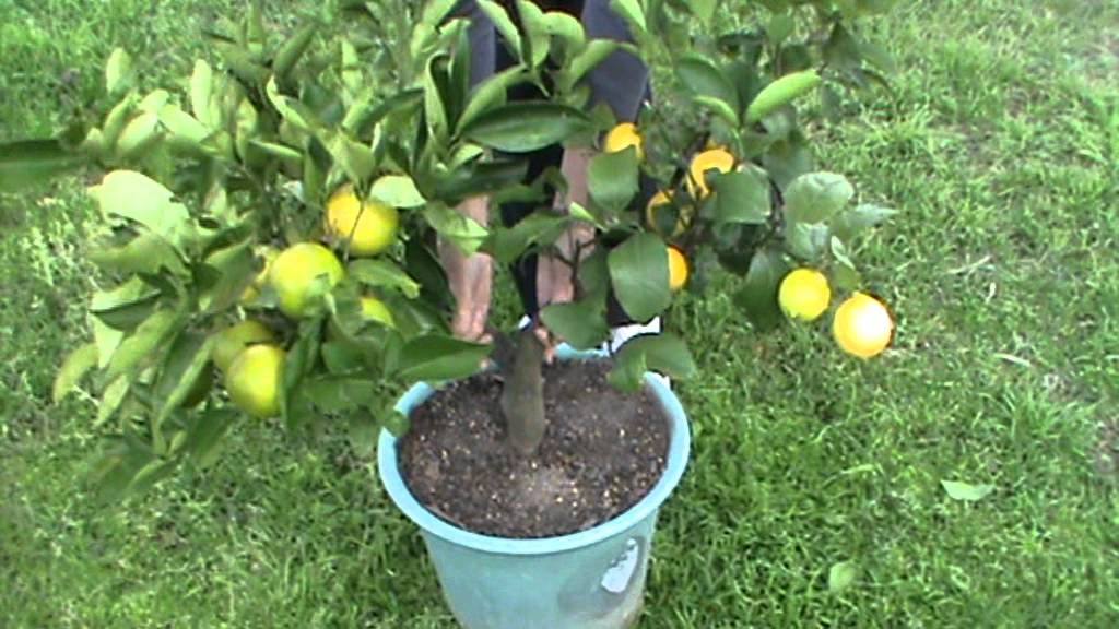 Multiple Grafted Fruit Trees Part - 15: YouTube Premium