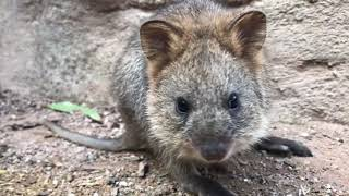 Quokka Joey Emerges From Mother