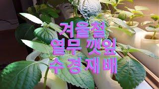 겨울철 깻잎, 열무 수경재배기로 쉽게 키우기/채소(오이…