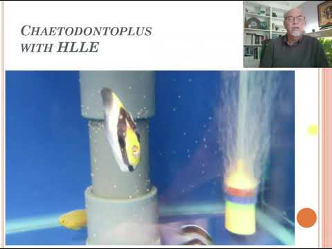Download Fish disease Case 10 Chaetodontoplus HLLE