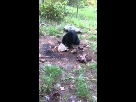 Arkansas black bear