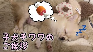眠たいけど遊びたい!子犬チワワのしぐさ ◇Twitter https://twitter.com...