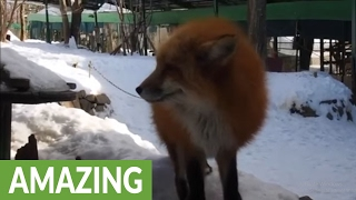 Fox village in Japan may be cutest place on E...