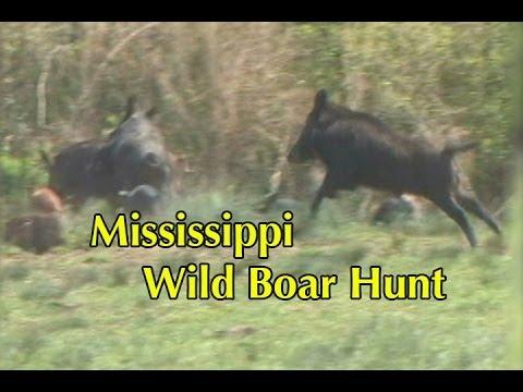Wild Boar Hunt In Mississippi
