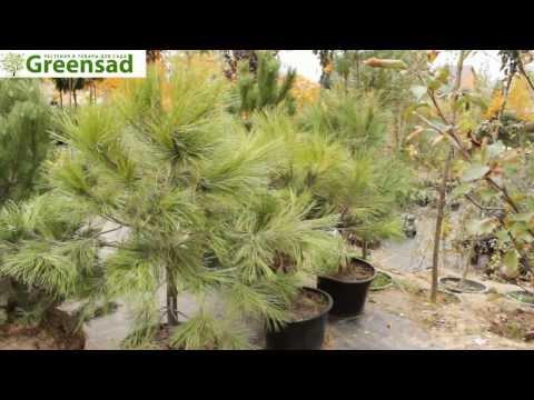 Сосна желтая - видео-обзор от Greensad