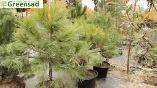 Сосна желтая - видео-обзор от Greensad(Сосна желтая -- хвойное вечнозеленое дерево высотой 15 -- 25 м. Хвоинки собраны в пучки по три штуки, очень длинн..., 2013-11-08T13:29:04.000Z)