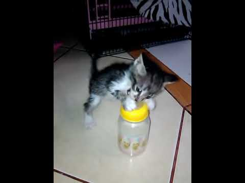 Kucing Domestik Mix Persia Doovi