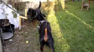 Rottweiler Vs. Dobermann  - Todes Kampf -   - Fight -  Part 2