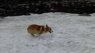 Goro@welsh Corgi 20090625 Snow & Run [ex-f1]