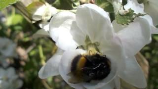 Wiosna Bak Trzmiel Zbiera Pylek Z Kwiatu Jabloni Youtube