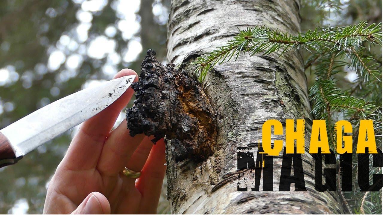 Вес 1 кг. Урожай 2018 года. У нас можно купить чагу березовую собранную в карелии. Узнать о полезных свойствах гриба, лечении онкологии.