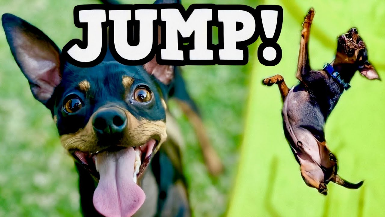 Rambo's Jumping & Frisbee Compilation! - Chipin (Chihuahua/Miniature Pinscher Mix) Dogs