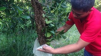 capturing and hiving a swarming bee colony|bee catcher in Cambodia| bee pest control