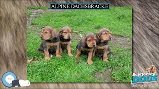 Alpine Dachsbracke  Everything Dog Breeds