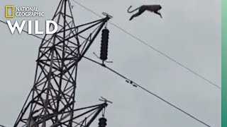 Watch a Monkey Defy Physics in Spectacular Tower Jump | Nat Geo Wild