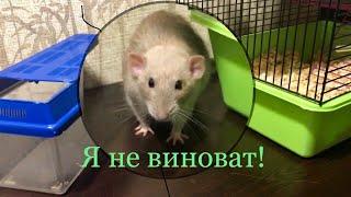 Метит ли крыса свою территорию?