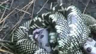 King Snake vs Copperhead