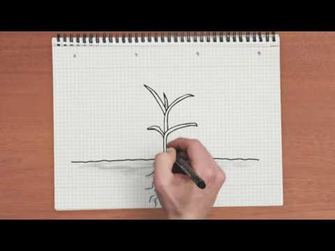 Ячмень растение. Фото -