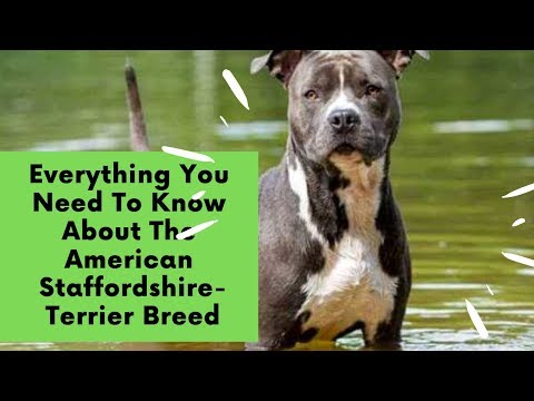 Everything You Need To Know About The American Staffordshire-Terrier Breed
