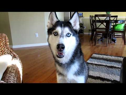 Mishka the Talking Husky wants Chinese Food! - Dog Talking