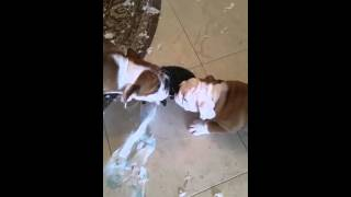 Собачьи бои и смерть пеленки