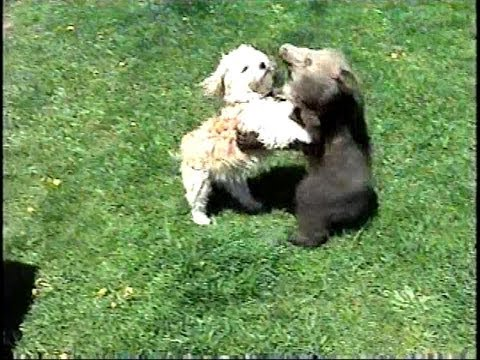 GRIZZLY BEAR CUB & Little Dog Playing