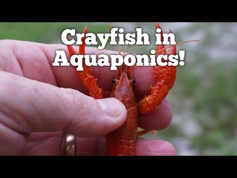 Crayfish In Aquaponics!
