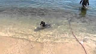 ニッキー泳ぐ