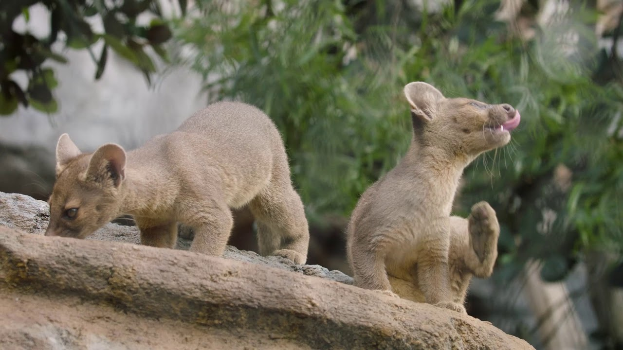 fossa pups frolic play youtube