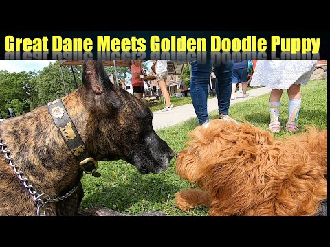 Magic the Great Dane's Day at the Farmers Market Meets a Golden Doodle Puppy