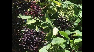 Identifying The Elder Tree and Making Elderberry Syrup