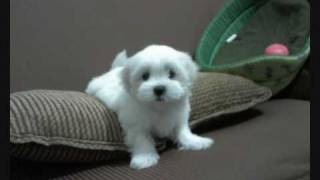 Shiva - Filhote Maltês Com 45 Dias De Vida - Maltese Puppy