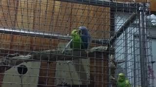 Секс папуг