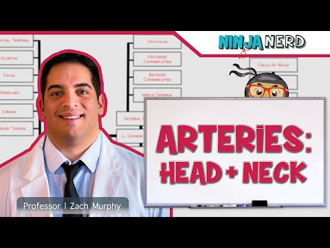 Circulatory System   Arteries of the Head & Neck   Flow Chart