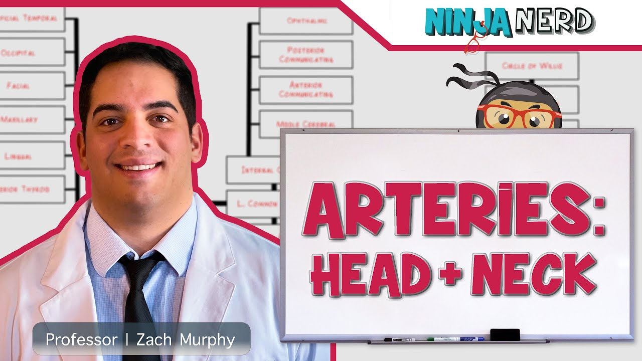 Circulatory System Arteries Of The Head Neck Flow Chart Youtube