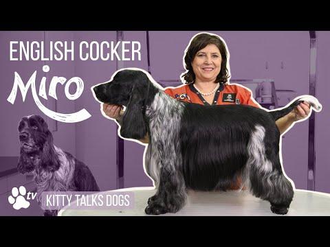 Show grooming Miro the English Cocker | Kitty Talks Dogs - TRANSGROOM