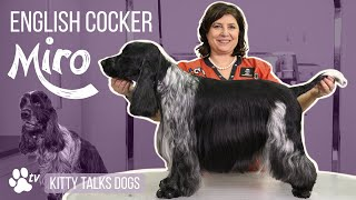Show grooming Miro the English Cocker | Kitty Talks Dogs  TRANSGROOM