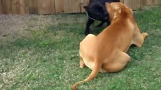 Staffordshire Bull Terrier V Pit Bull