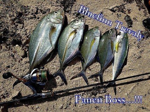 Panen Bluefin Trevally Dari Pinggir Pantai. (Ultralight Fishing)|| EPS. 12